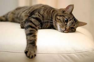 tabby-cat-1